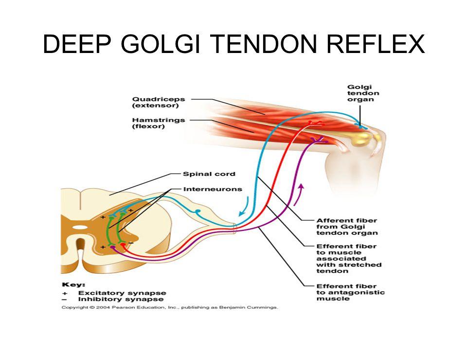 DEEP GOLGI TENDON REFLEX