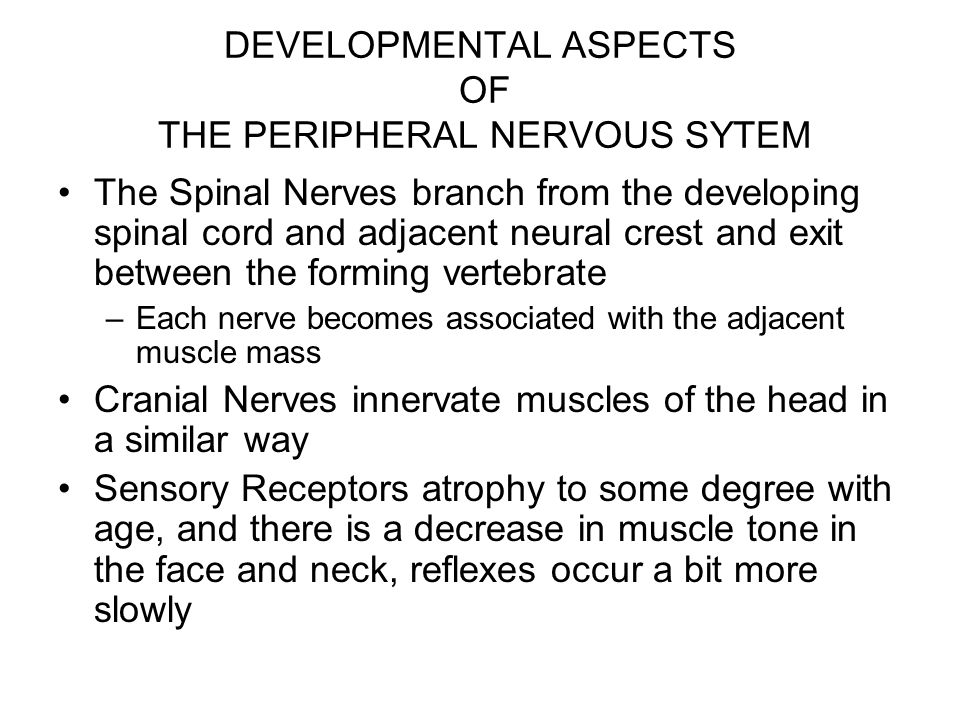 DEVELOPMENTAL ASPECTS OF THE PERIPHERAL NERVOUS SYTEM The Spinal Nerves branch from the developing spinal cord and adjacent neural crest and exit between the forming vertebrate –Each nerve becomes associated with the adjacent muscle mass Cranial Nerves innervate muscles of the head in a similar way Sensory Receptors atrophy to some degree with age, and there is a decrease in muscle tone in the face and neck, reflexes occur a bit more slowly