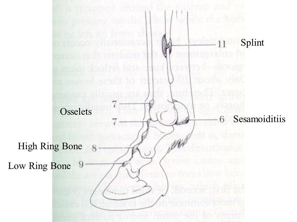 Splint Sesamoiditiis Osselets High Ring Bone Low Ring Bone