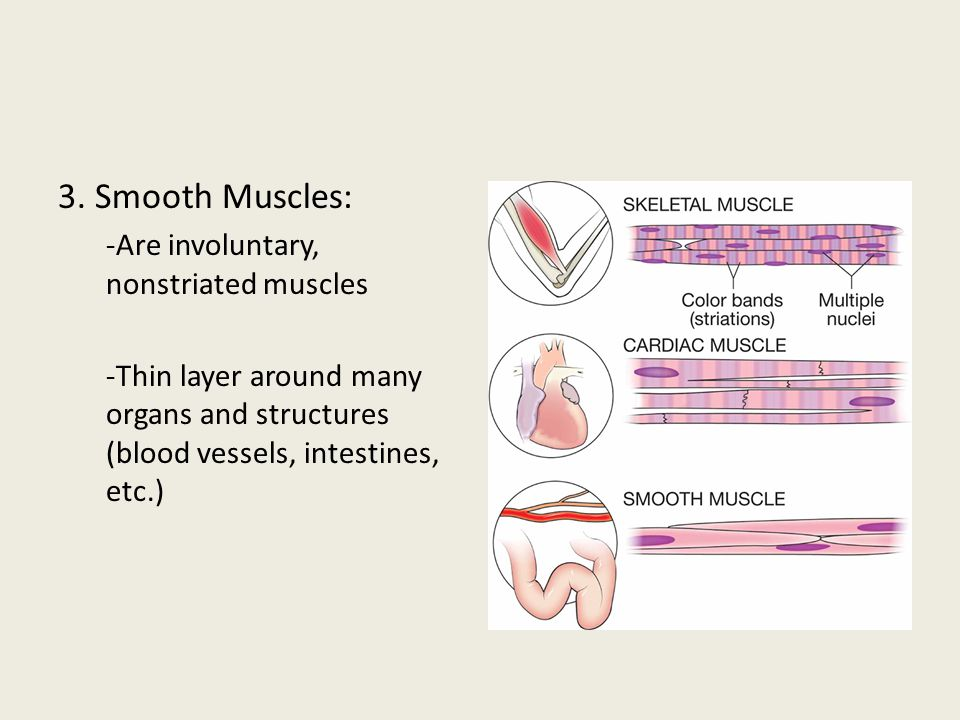 3. Smooth Muscles: -Are involuntary, nonstriated muscles -Thin layer around many organs and structures (blood vessels, intestines, etc.)