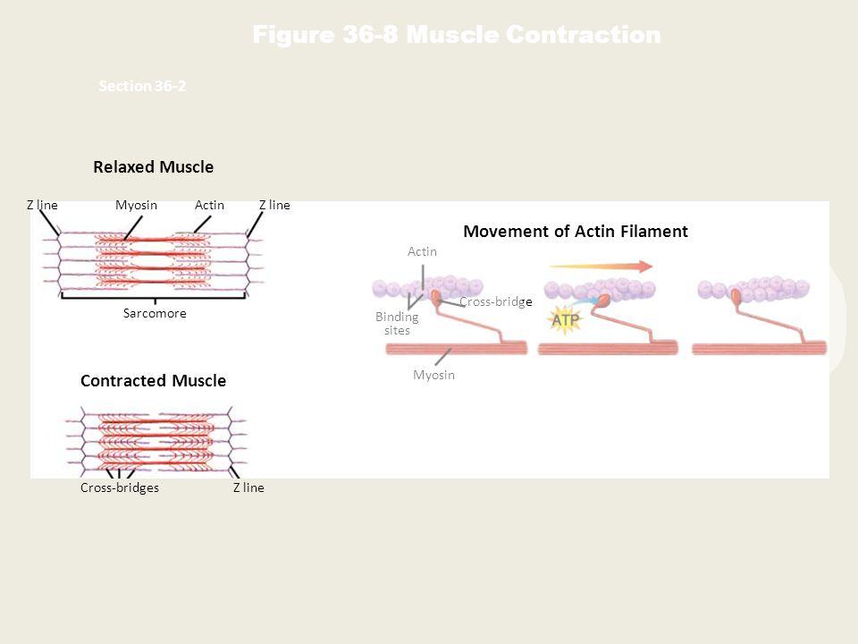 Relaxed Muscle Contracted Muscle Z lineMyosinActinZ line Sarcomore Cross-bridgesZ line Movement of Actin Filament Actin Binding sites Cross-bridge Myosin Figure 36-8 Muscle Contraction Section 36-2