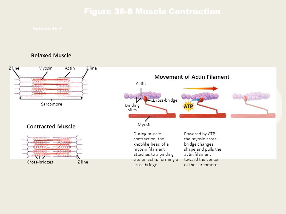 Relaxed Muscle Contracted Muscle Z lineMyosinActinZ line Sarcomore Cross-bridgesZ line Movement of Actin Filament Actin Binding sites Cross-bridge Myo