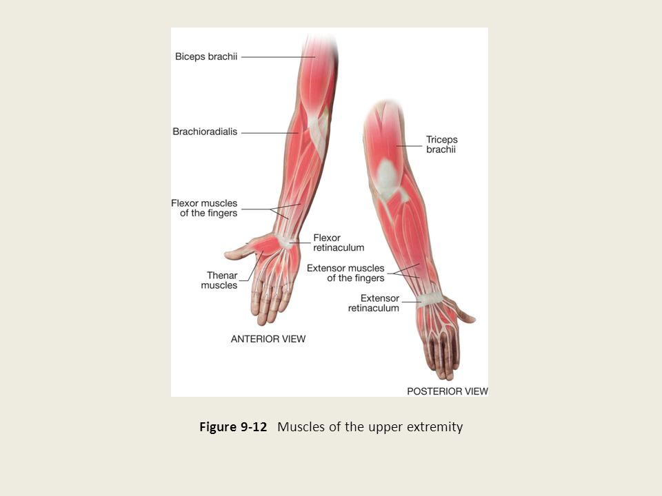 Figure 9-12 Muscles of the upper extremity