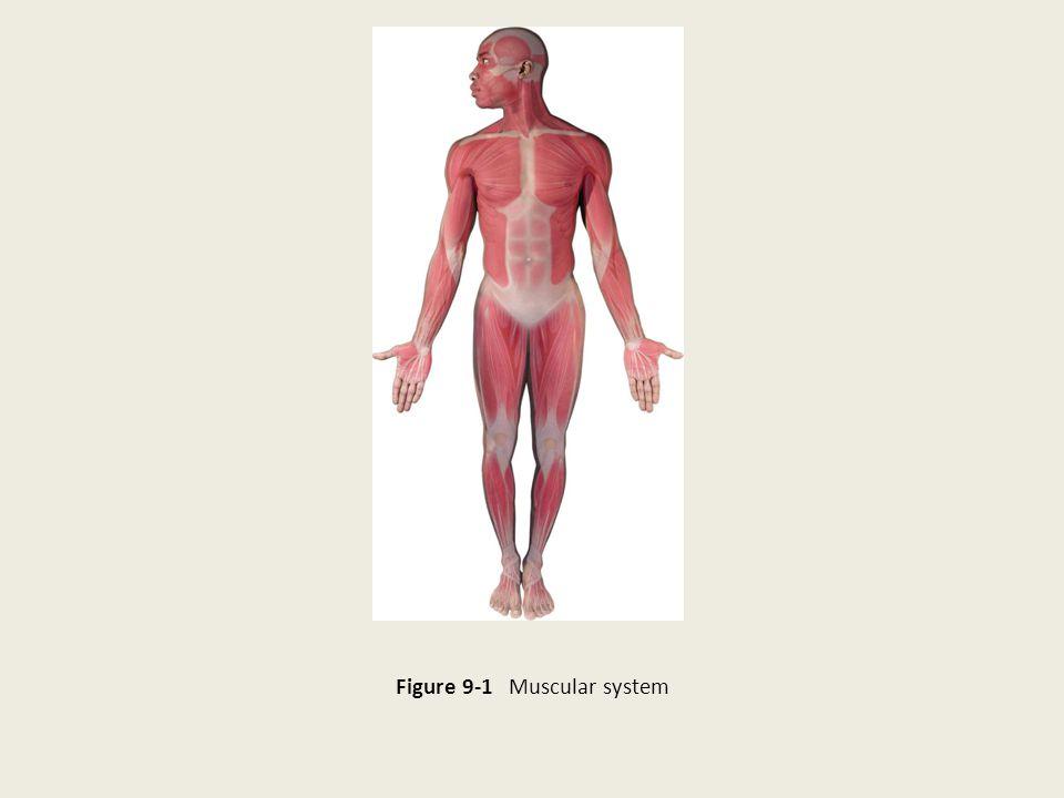 Figure 9-1 Muscular system