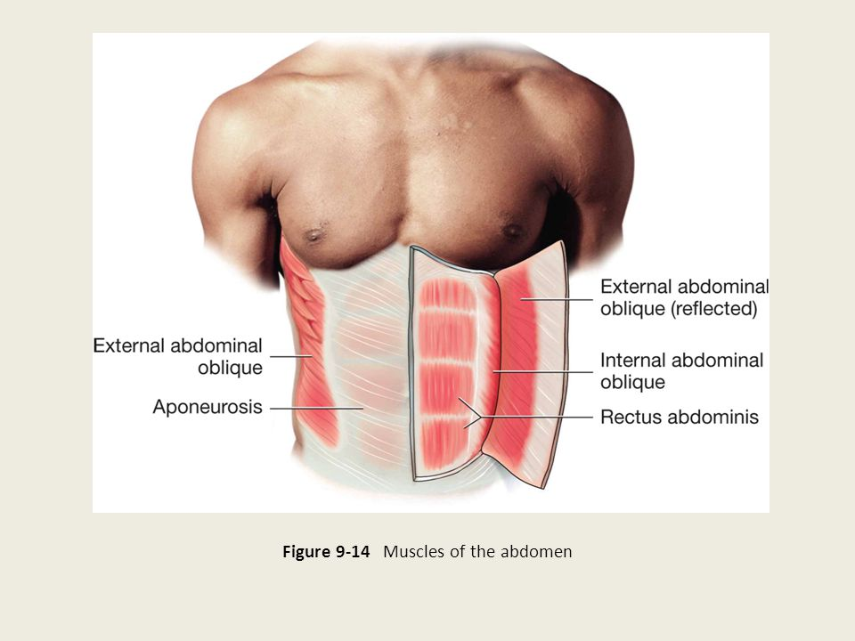 Figure 9-14 Muscles of the abdomen