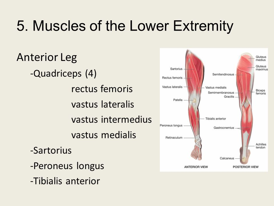 5. Muscles of the Lower Extremity Anterior Leg -Quadriceps (4) rectus femoris vastus lateralis vastus intermedius vastus medialis -Sartorius -Peroneus
