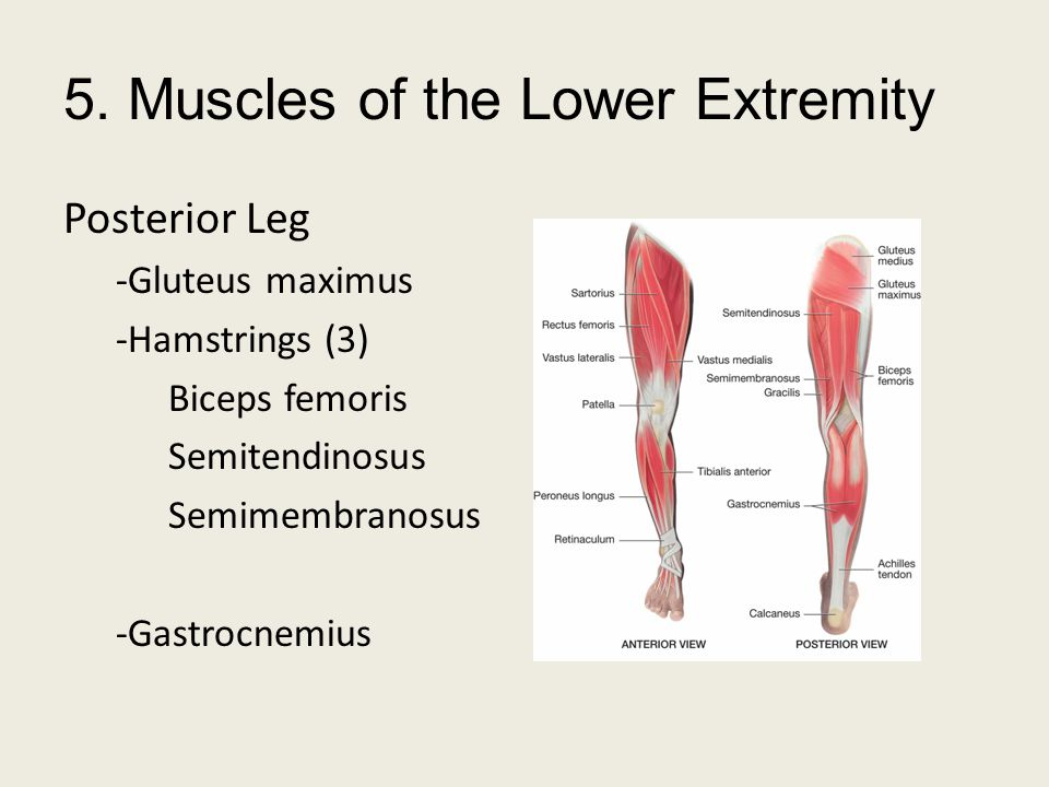 5. Muscles of the Lower Extremity Posterior Leg -Gluteus maximus -Hamstrings (3) Biceps femoris Semitendinosus Semimembranosus -Gastrocnemius