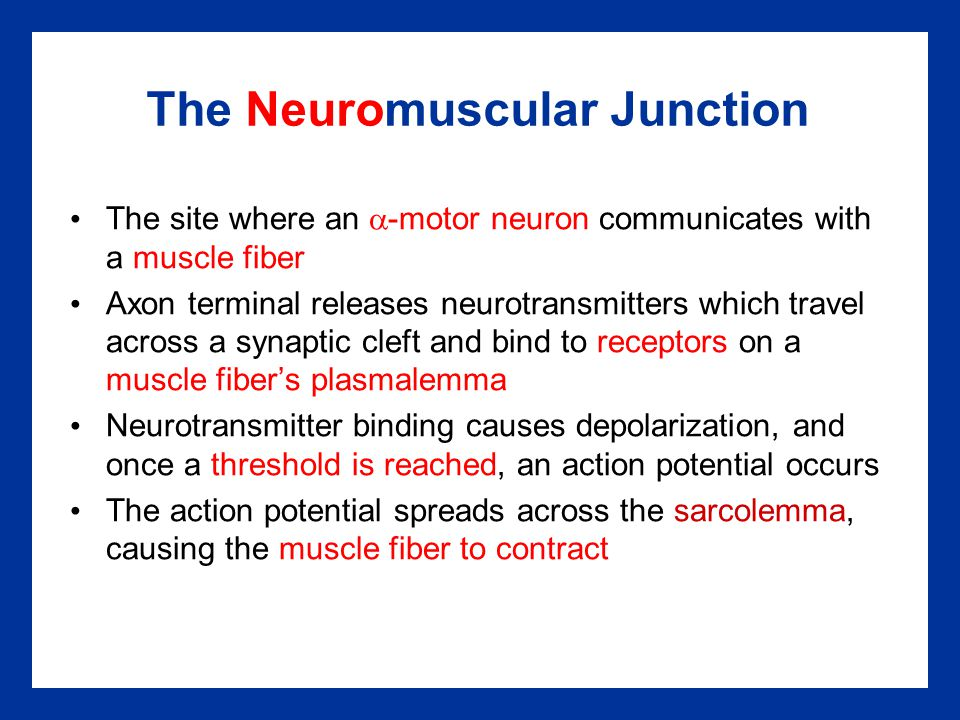 The Neuromuscular Junction The site where an  -motor neuron communicates with a muscle fiber Axon terminal releases neurotransmitters which travel ac