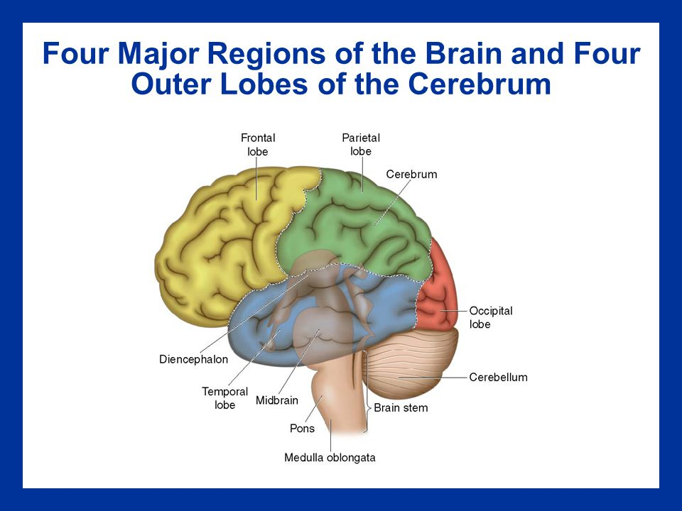 Four Major Regions of the Brain and Four Outer Lobes of the Cerebrum