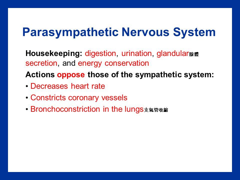 Parasympathetic Nervous System Housekeeping: digestion, urination, glandular 腺體 secretion, and energy conservation Actions oppose those of the sympath