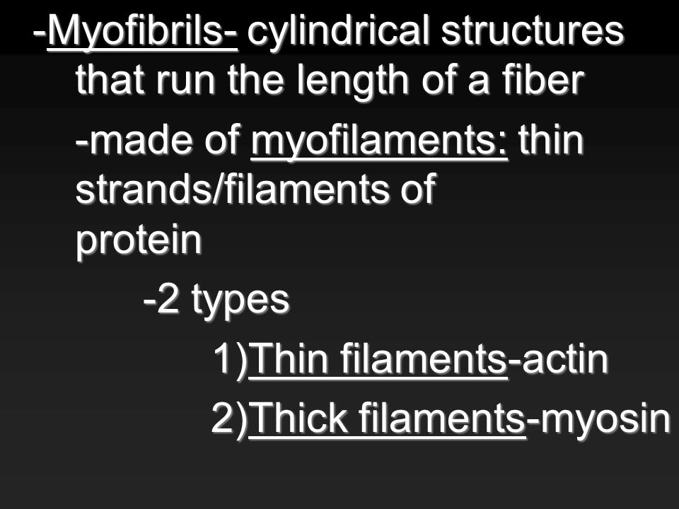 -Myofibrils- cylindrical structures that run the length of a fiber -made of myofilaments: thin strands/filaments of protein -2 types 1)Thin filaments-actin 2)Thick filaments-myosin