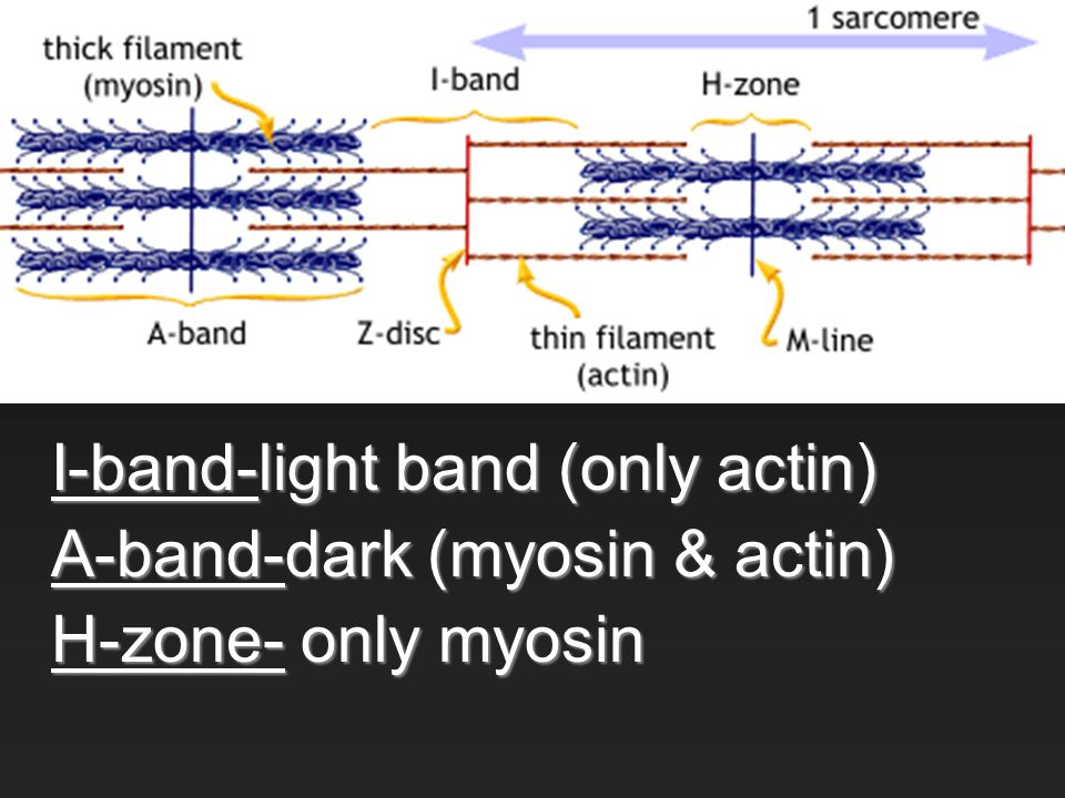 I-band-light band (only actin) A-band-dark (myosin & actin) H-zone- only myosin