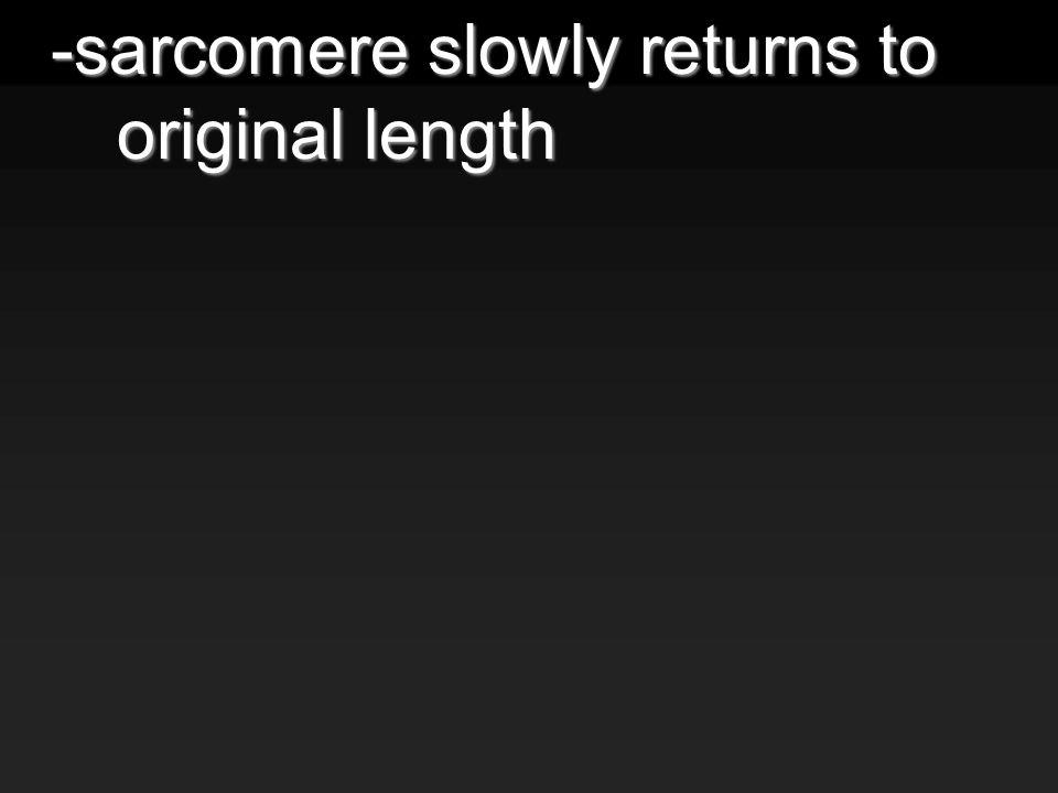 -sarcomere slowly returns to original length