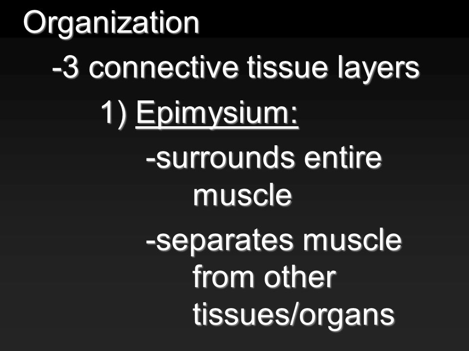 Organization -3 connective tissue layers 1) Epimysium: -surrounds entire muscle -separates muscle from other tissues/organs