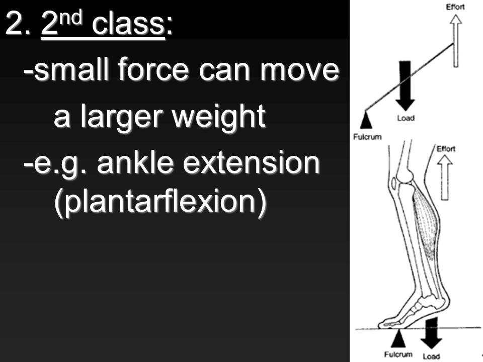 2. 2 nd class: -small force can move a larger weight -e.g. ankle extension (plantarflexion)