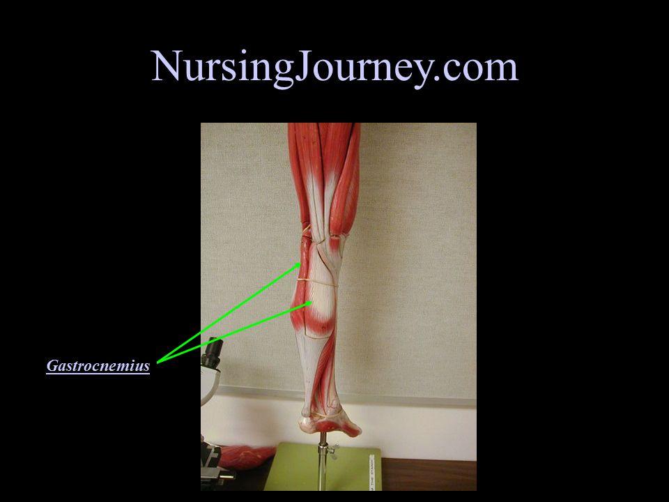 NursingJourney.com Gluteus Maximus Biceps Femoris Semitendinosus Sartorius Adductor Magnus Gracilis