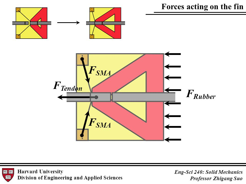 Forces acting on the fin Harvard University Division of Engineering and Applied Sciences Eng-Sci 240: Solid Mechanics Professor Zhigang Suo F SMA F Tendon F Rubber F SMA