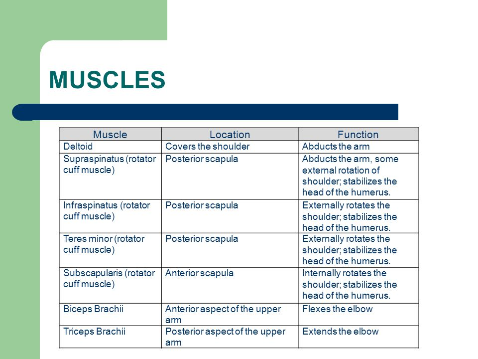 MUSCLES MuscleLocationFunction DeltoidCovers the shoulderAbducts the arm Supraspinatus (rotator cuff muscle) Posterior scapulaAbducts the arm, some ex