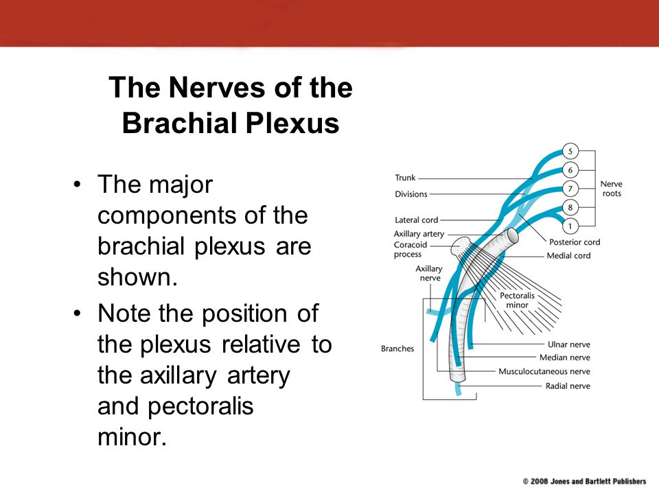 Major Arteries of the Arm This view shows the major arteries stemming from the subclavian artery.