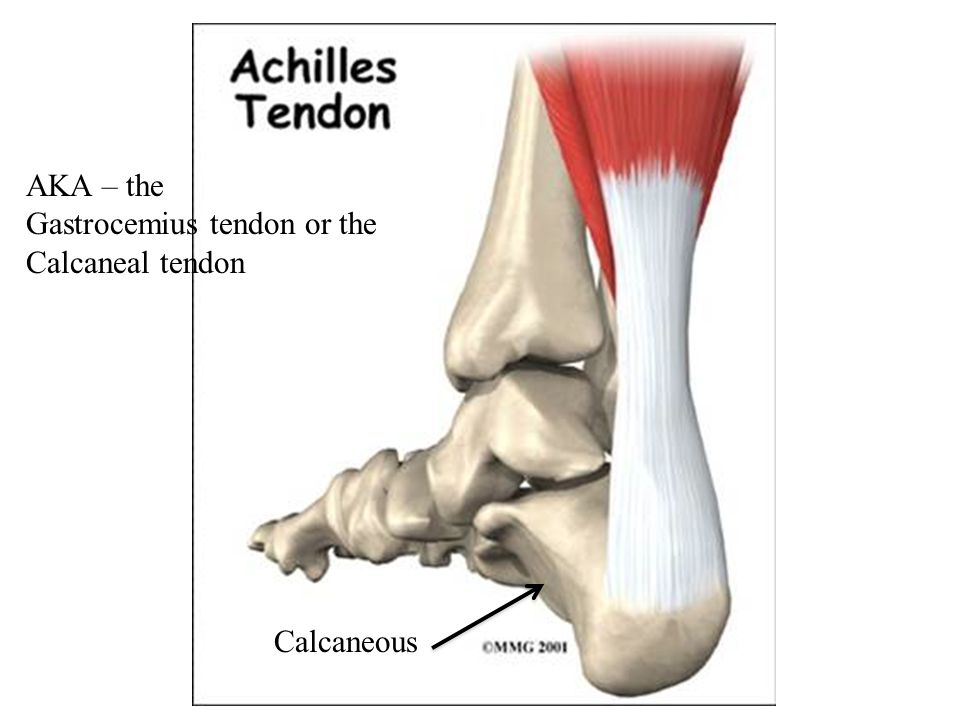 AKA – the Gastrocemius tendon or the Calcaneal tendon Calcaneous