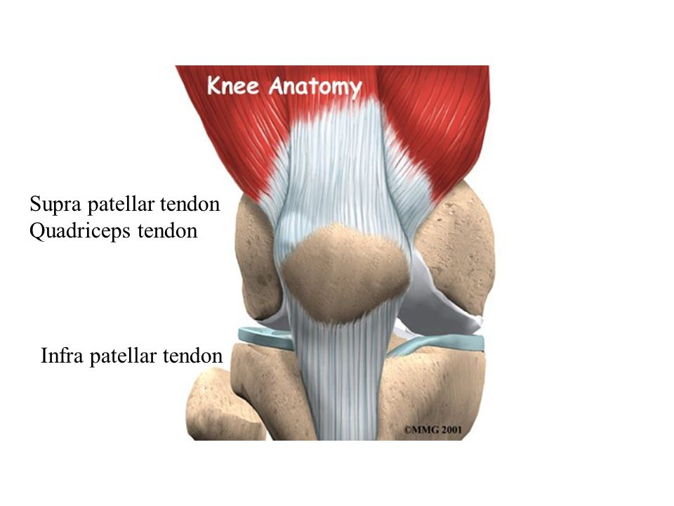 Supra patellar tendon Quadriceps tendon Infra patellar tendon