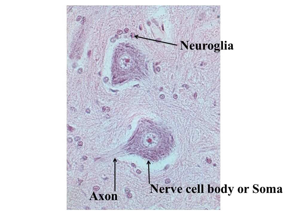 Nerve cell body or Soma Axon Neuroglia