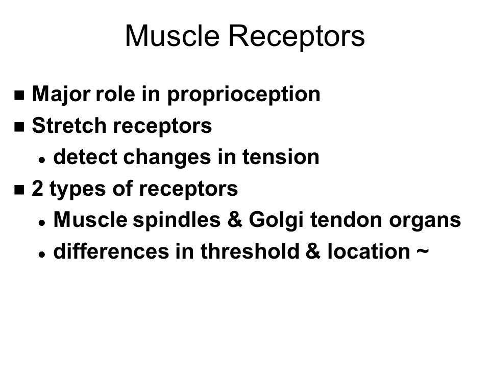 Muscle Receptors n Major role in proprioception n Stretch receptors l detect changes in tension n 2 types of receptors l Muscle spindles & Golgi tendo