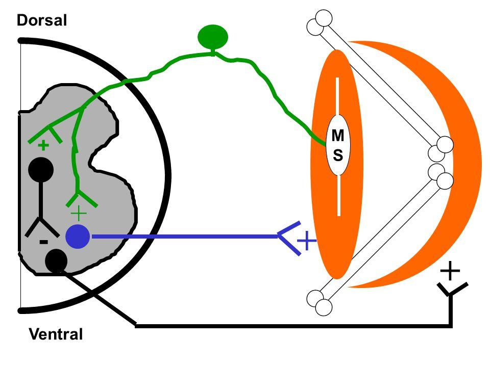Dorsal Ventral + + MSMS - + +