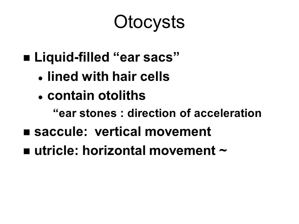 "Otocysts n Liquid-filled ""ear sacs"" l lined with hair cells l contain otoliths ""ear stones : direction of acceleration n saccule: vertical movement n"