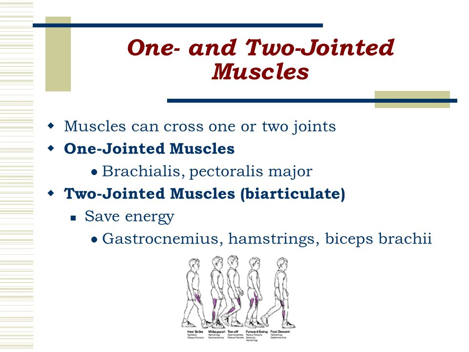 One- and Two-Jointed Muscles  Muscles can cross one or two joints  One-Jointed Muscles Brachialis, pectoralis major  Two-Jointed Muscles (biarticulate) Save energy Gastrocnemius, hamstrings, biceps brachii