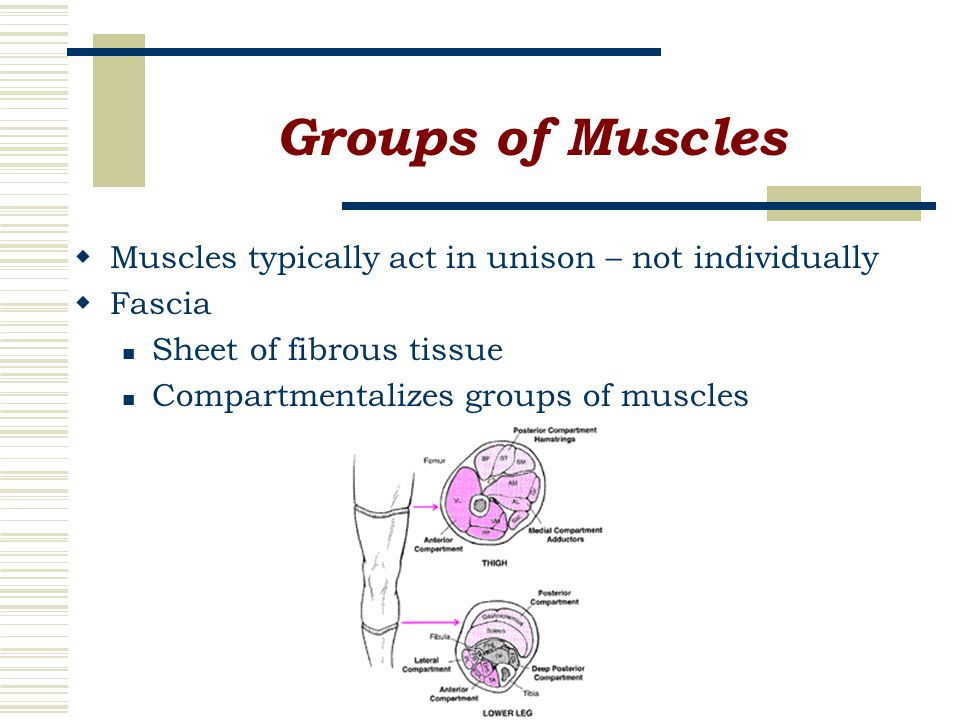 Groups of Muscles  Muscles typically act in unison – not individually  Fascia Sheet of fibrous tissue Compartmentalizes groups of muscles