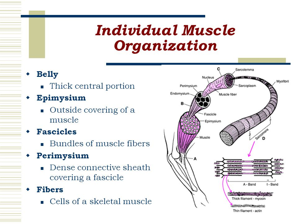 Individual Muscle Organization  Belly Thick central portion  Epimysium Outside covering of a muscle  Fascicles Bundles of muscle fibers  Perimysium Dense connective sheath covering a fascicle  Fibers Cells of a skeletal muscle