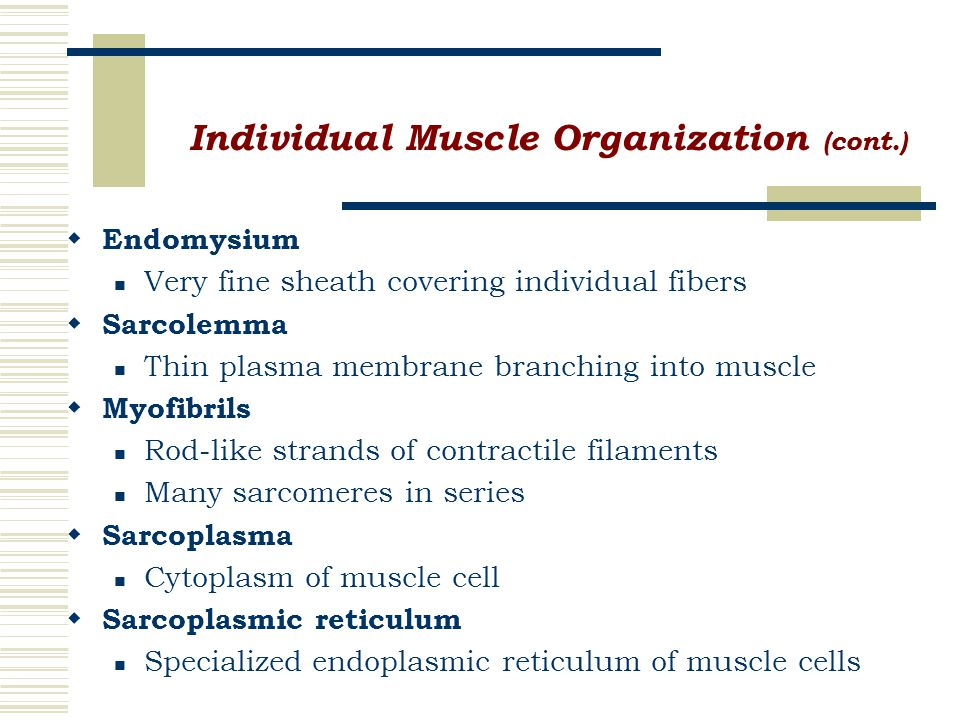 Individual Muscle Organization (cont.)  Endomysium Very fine sheath covering individual fibers  Sarcolemma Thin plasma membrane branching into muscle  Myofibrils Rod-like strands of contractile filaments Many sarcomeres in series  Sarcoplasma Cytoplasm of muscle cell  Sarcoplasmic reticulum Specialized endoplasmic reticulum of muscle cells