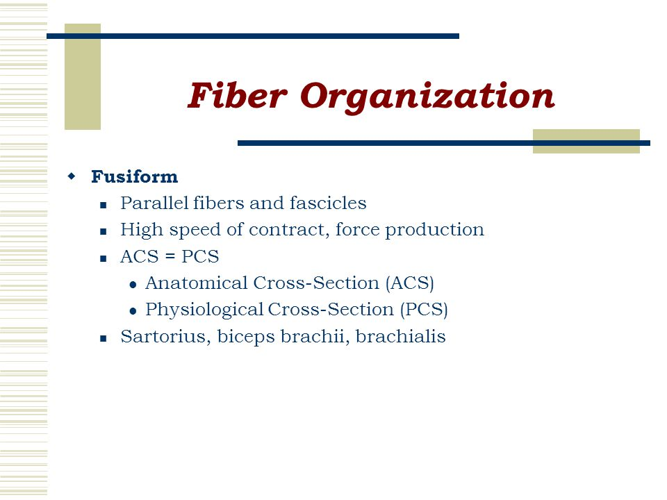 Fiber Organization  Fusiform Parallel fibers and fascicles High speed of contract, force production ACS = PCS Anatomical Cross-Section (ACS) Physiological Cross-Section (PCS) Sartorius, biceps brachii, brachialis