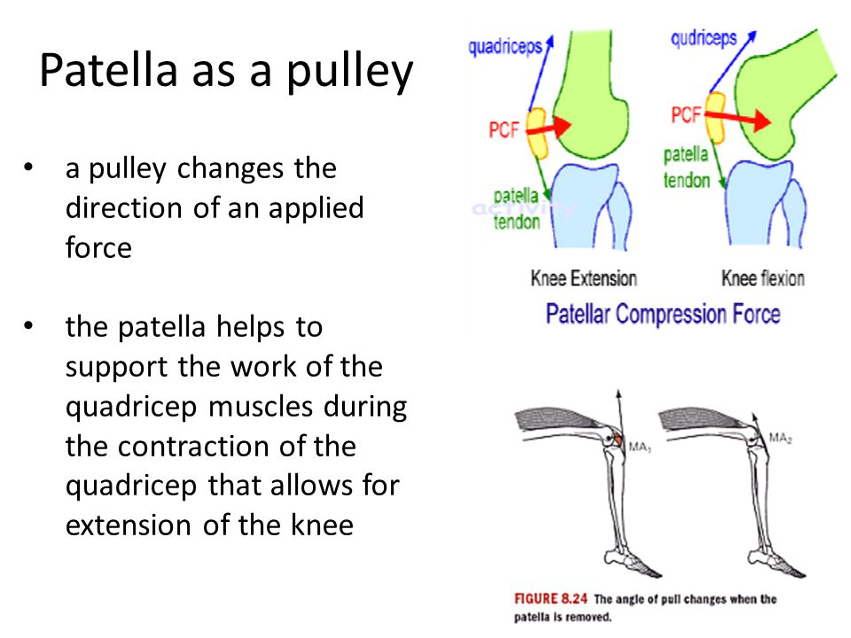 Patella as a pulley a pulley changes the direction of an applied force the patella helps to support the work of the quadricep muscles during the contr