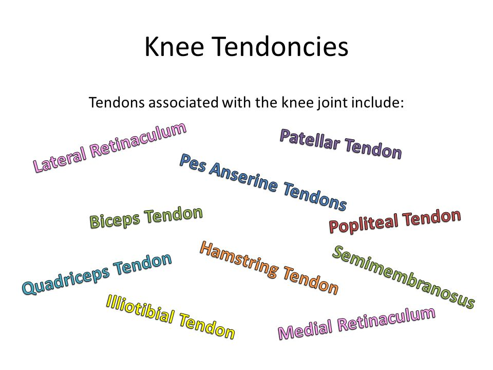 Knee Tendoncies Tendons associated with the knee joint include: