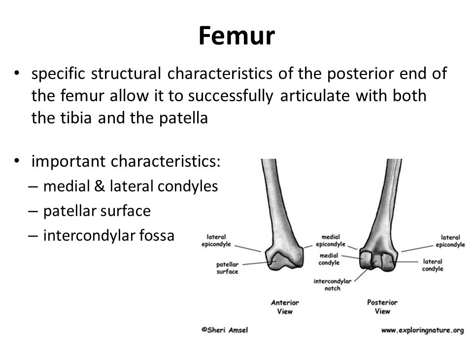 Femur specific structural characteristics of the posterior end of the femur allow it to successfully articulate with both the tibia and the patella im