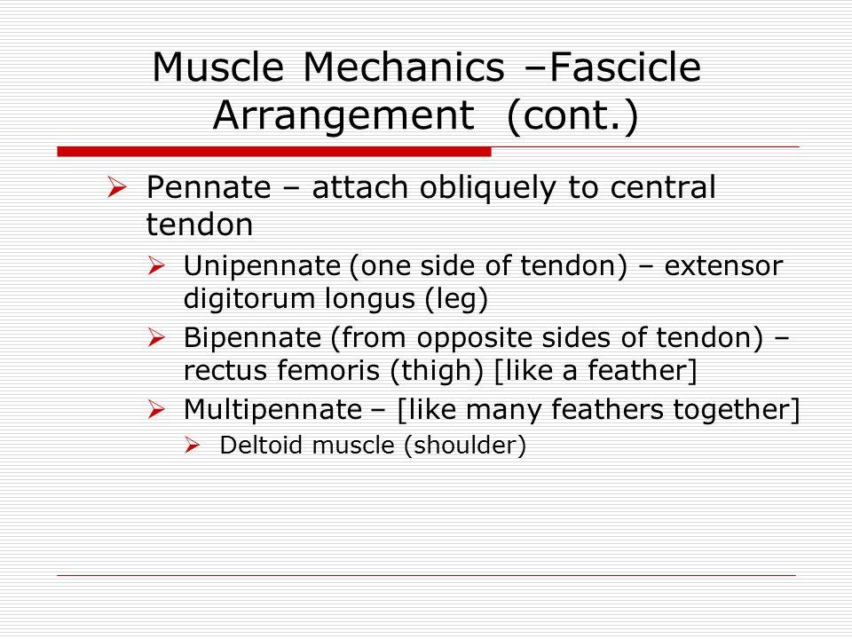 Muscle Mechanics –Fascicle Arrangement (cont.)  Pennate – attach obliquely to central tendon  Unipennate (one side of tendon) – extensor digitorum l