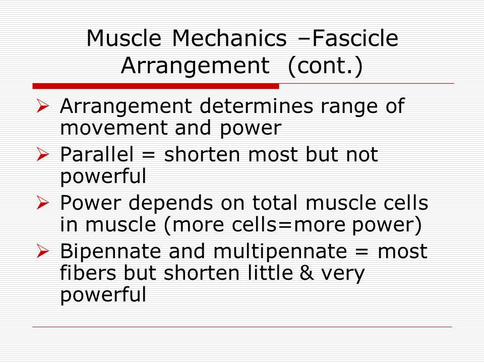 Muscle Mechanics –Fascicle Arrangement (cont.)  Arrangement determines range of movement and power  Parallel = shorten most but not powerful  Power