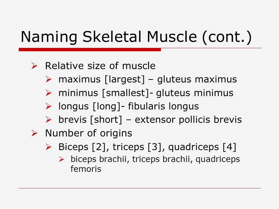 Naming Skeletal Muscle (cont.)  Relative size of muscle  maximus [largest] – gluteus maximus  minimus [smallest]- gluteus minimus  longus [long]-