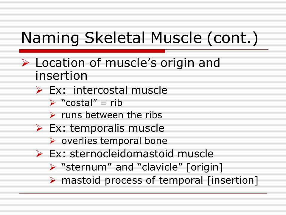 """Naming Skeletal Muscle (cont.)  Location of muscle's origin and insertion  Ex: intercostal muscle  """"costal"""" = rib  runs between the ribs  Ex: tem"""