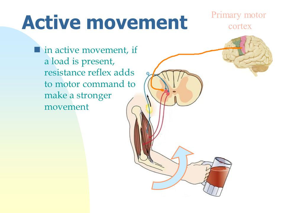 Active movement Primary motor cortex nin active movement, if a load is present, resistance reflex adds to motor command to make a stronger movement