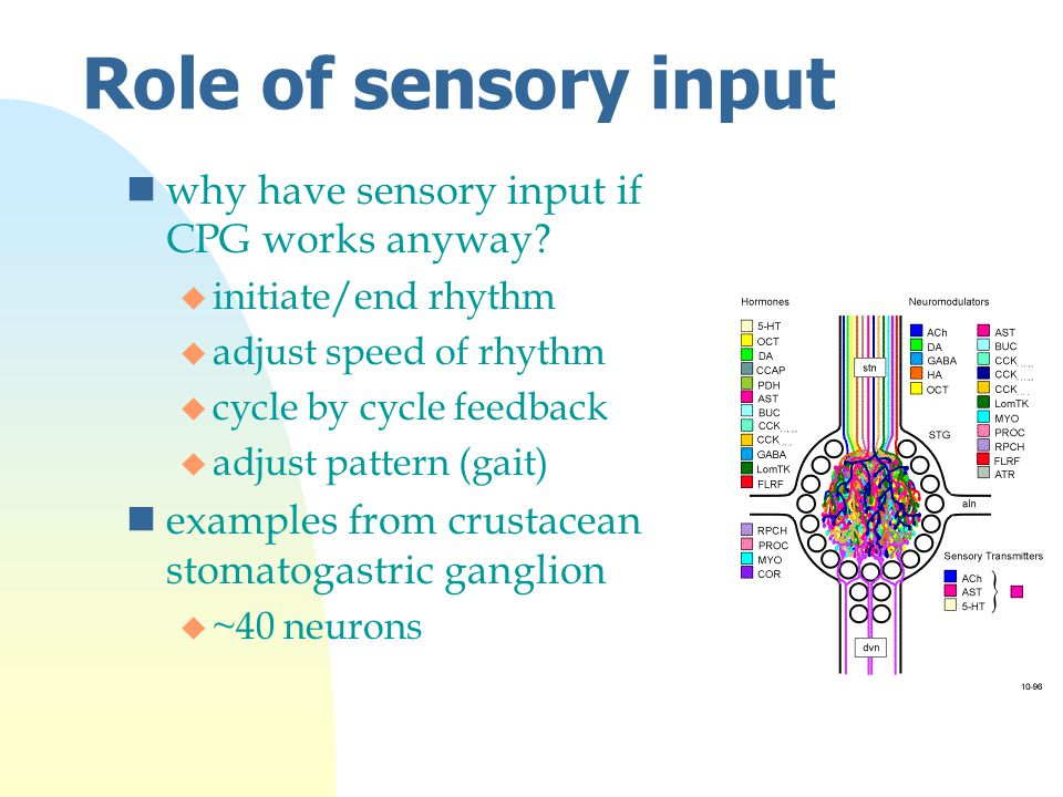 Role of sensory input nwhy have sensory input if CPG works anyway.