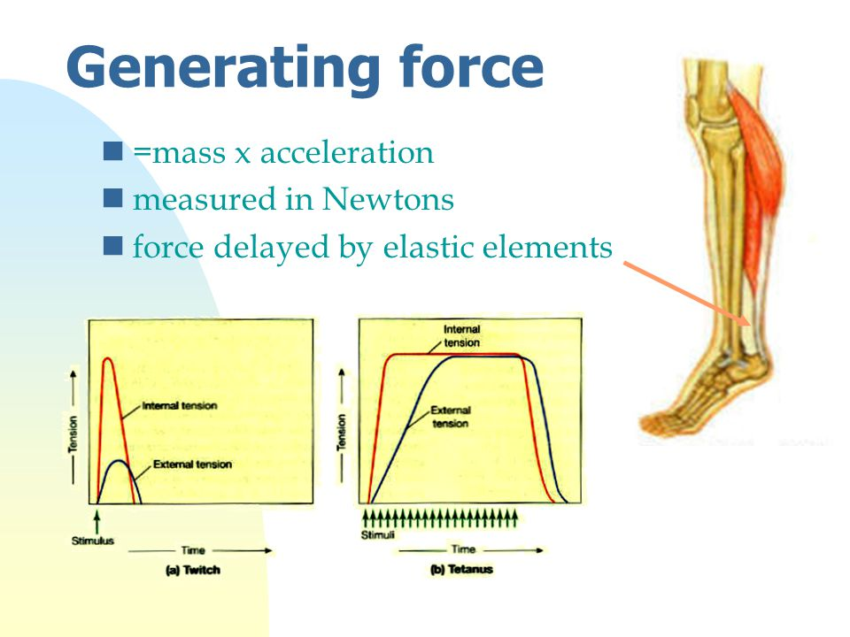 Generating force n=mass x acceleration nmeasured in Newtons nforce delayed by elastic elements