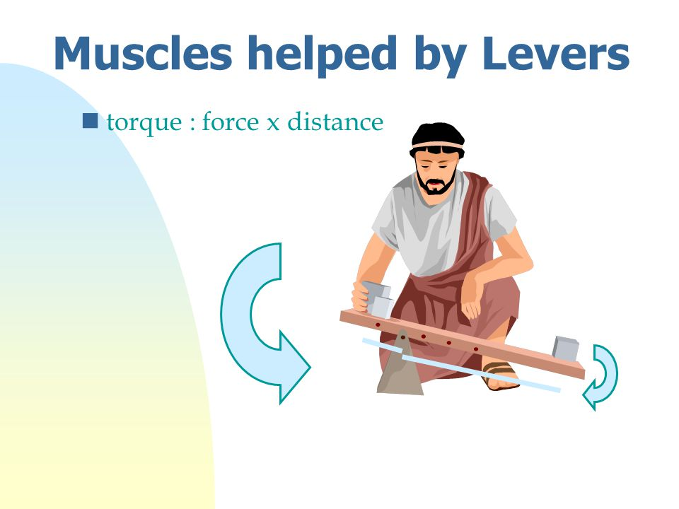 Muscles helped by Levers ntorque : force x distance