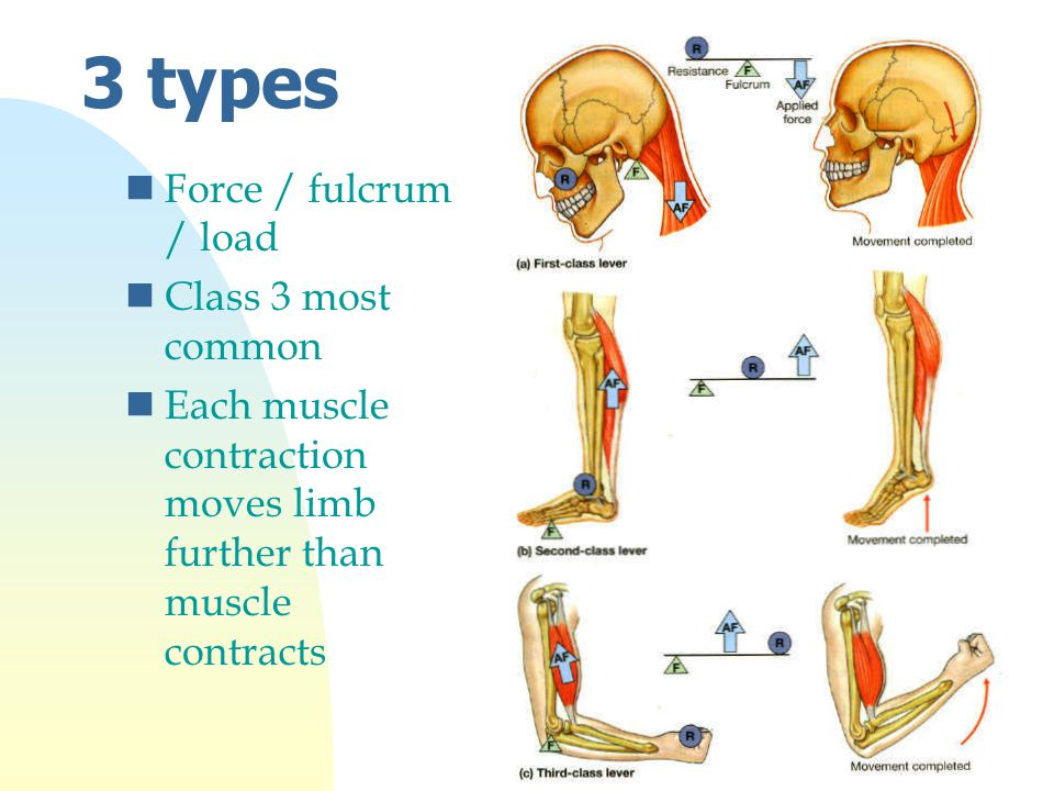 3 types nForce / fulcrum / load nClass 3 most common nEach muscle contraction moves limb further than muscle contracts