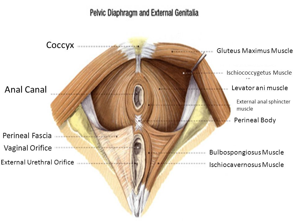 Coccyx Anal Canal Perineal Fascia Vaginal Orifice External Urethral Orifice Gluteus Maximus Muscle Ischiococcygetus Muscle Levator ani muscle External anal sphincter muscle Perineal Body Bulbospongiosus Muscle Ischiocavernosus Muscle