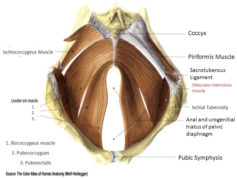 Ischiococcygeus Muscle 1. Iliococcygeus muscle 2.