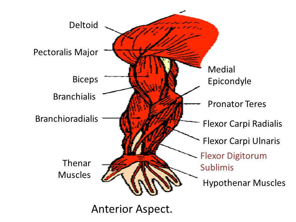Deltoid Pectoralis Major Biceps Branchialis Branchioradialis Thenar Muscles Medial Epicondyle Pronator Teres Flexor Carpi Radialis Flexor Carpi Ulnaris Flexor Digitorum Sublimis Hypothenar Muscles Anterior Aspect.