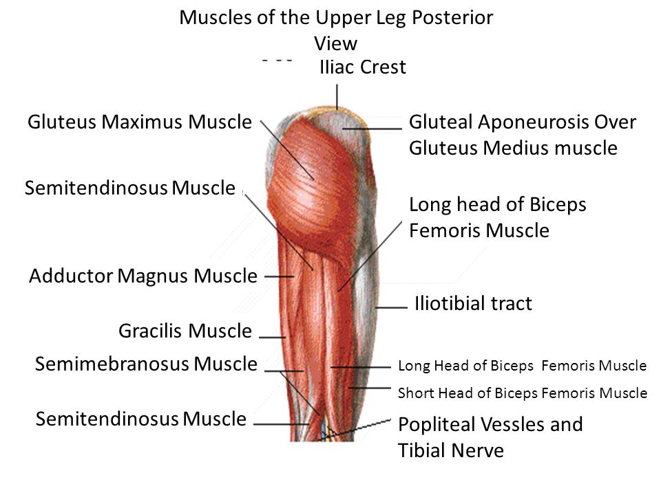 Iliac Crest Muscles of the Upper Leg Posterior View Gluteus Maximus Muscle Semitendinosus Muscle Adductor Magnus Muscle Gracilis Muscle Semimebranosus Muscle Semitendinosus Muscle Gluteal Aponeurosis Over Gluteus Medius muscle Long head of Biceps Femoris Muscle Iliotibial tract Long Head of Biceps Femoris Muscle Short Head of Biceps Femoris Muscle Popliteal Vessles and Tibial Nerve